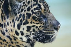 jaguar Fotografia Royalty Free