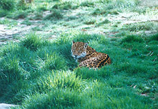 Jaguar. A jaguar in an open grass-field, Bolivia, South America Stock Image