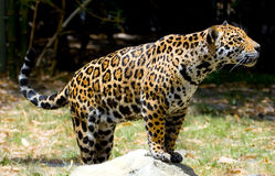 jaguar 11 Royaltyfria Foton