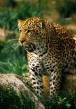 Jaguar. A jaguar with mouth op[n stands near a rock Royalty Free Stock Photos