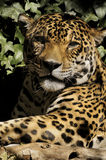 Jaguar. The jaguar is a threatened species and its numbers are declining Stock Photo