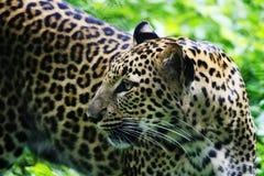 Jaguar Fotos de archivo
