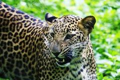 Jaguar Lizenzfreie Stockfotos
