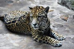 jaguar fotografering för bildbyråer