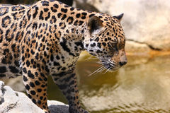 Jaguar 14 Royalty Free Stock Photo
