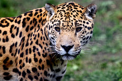 Jaguar Stock Photography