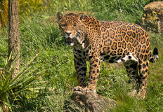 jaguar obraz royalty free