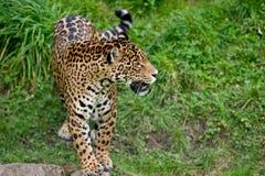 Jaguar Royalty-vrije Stock Afbeeldingen