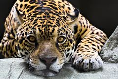 Free Jaguar Royalty Free Stock Photography - 1896457
