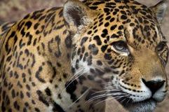 Jaguar royalty-vrije stock foto