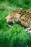 Jaguar. On green landscape in zoo Stock Images