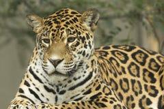 Jaguar. Detailed view of a lying Jaguar Stock Images