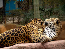 Jaguar. Relax: large, heavily built cat that has a yellowish-brown coat with black spots, found mainly in the dense forests of Central and South America. [ Stock Images