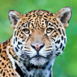 Jaguar Image stock