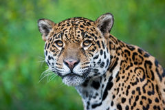 Jaguar Stockfoto