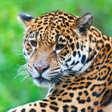 Jaguar Foto de Stock Royalty Free
