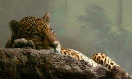 Jaguar. Zoo, jaguar missed after a  dinner Royalty Free Stock Photos