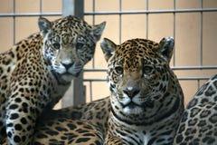 Jaguar stock fotografie