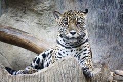 Jaguar. Looking something in zoo Royalty Free Stock Photo