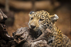 Jaguar. Little jaguar biting a tree. Mammal of Africa Royalty Free Stock Images