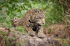 A Jaguar Stock Photo