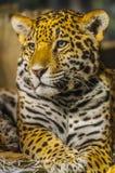 Jaguar foto de archivo