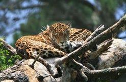Jaguar Fotografie Stock Libere da Diritti