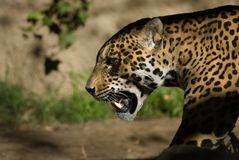 Jaguar. The jaguar is a near threatened species and its numbers are declining Royalty Free Stock Photos