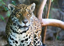 Jaguar. A digital image of a Jaguar on the prowling around in a zoo in Tenerife Royalty Free Stock Photo