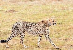 jaguar Fotografia Stock