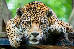 jaguar Stockfotos