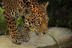jaguar Fotografía de archivo
