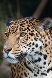 jaguar Royaltyfria Bilder