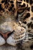 jaguar Royaltyfri Foto