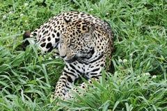 jaguar Imagem de Stock Royalty Free