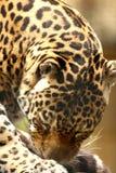 Jaguar lizenzfreies stockbild