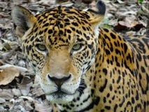 jaguar Stockbilder