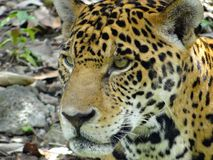 jaguar Stockfotografie