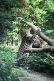 jaguar Arkivbild