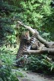 Jaguar 2 Photos stock