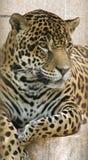 Jaguar Imagen de archivo libre de regalías