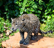 jaguar Stock Foto's