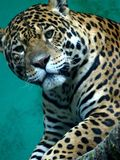 Jaguar Fotografia de Stock Royalty Free