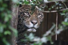 jaguar Fotografia Stock Libera da Diritti