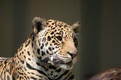 jaguar Fotografia Royalty Free