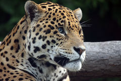 Jaguar. Beautiful side profile of a Spotted Jaguar Royalty Free Stock Photo