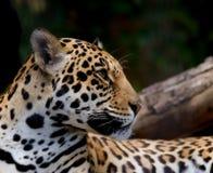 Jaguar. A spotted jaguar looking regal (  Panthera onca Stock Images