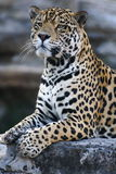 Jaguar Royalty Free Stock Image