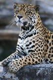 Jaguar Royalty-vrije Stock Afbeelding