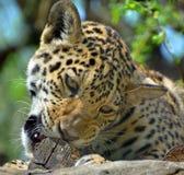jaguar Images libres de droits